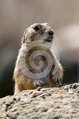 Shocked Marmot