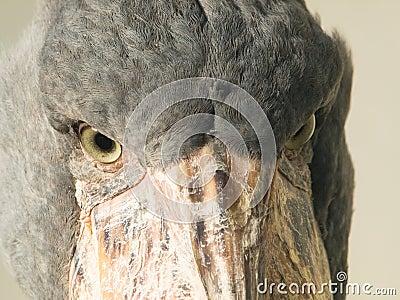 Shoebill bird face detail