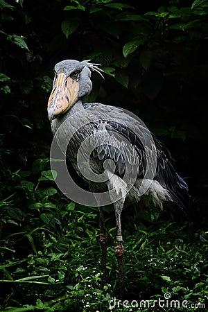 A Shoebill Stork
