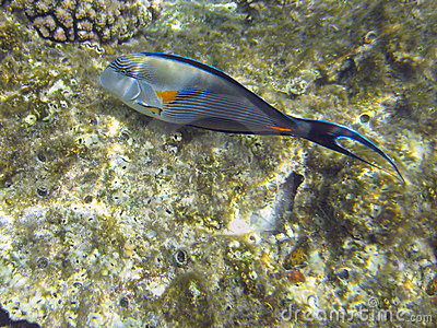 Shohal surgeon fish (Acanthurus sohal)