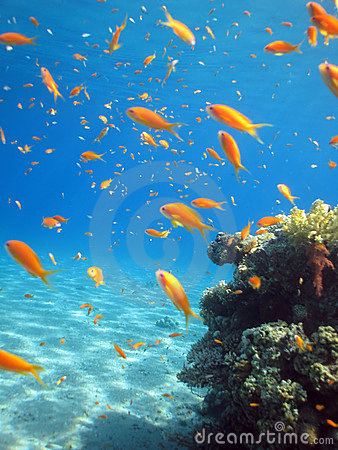 Shool of Anthias