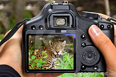 Shooting jaguar in wildlife