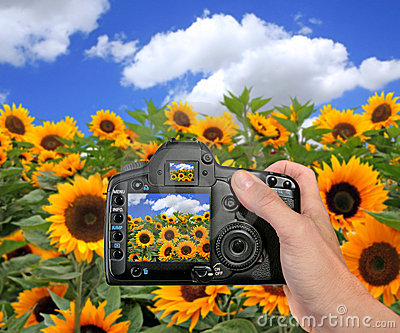 Shooting a Photograph in a Sunflower Field