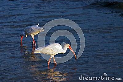 Shore bird hunting
