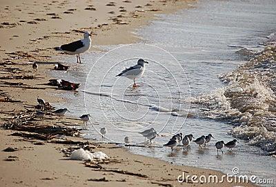 Sea gulls and sanderlings at waters edge