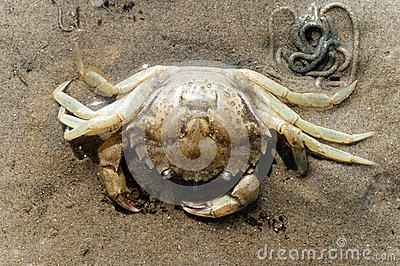 Shore crab skeleton