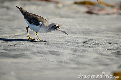 Shorebird Hunting