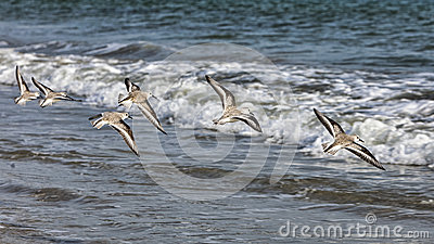 Shorebirds Flying