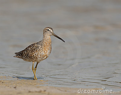 Short-billed Dowitcher on beach
