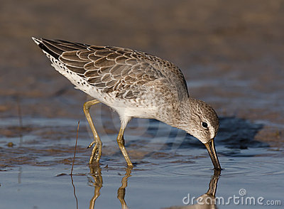 Short-billed Dowitcher fishing for food