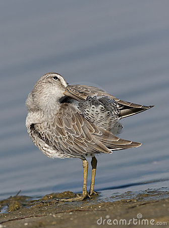 Short-billed Dowitcher preening