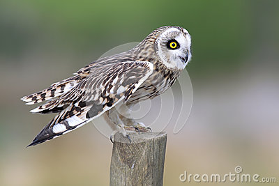 Short-Eared Owl on Fence Post