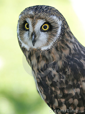 Short eared owl portrait.