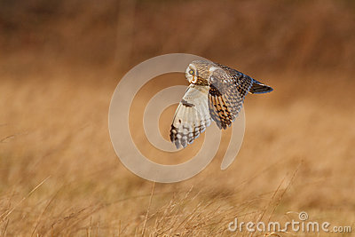 Short-eared owl in UK