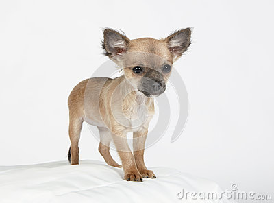 Short hair Chihuahua standing erect and observing