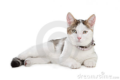 Short-haired cat