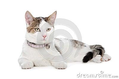Short-haired cat