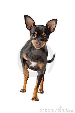 Short haired chihuahua dog