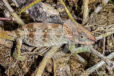 Short-horned chameleon, marozevo
