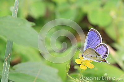 Short tailed blue on a yellow flower