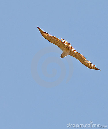 The Short-toed Eagle in flight