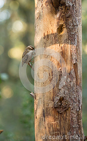 Short-toed Treecreeper on vertical log