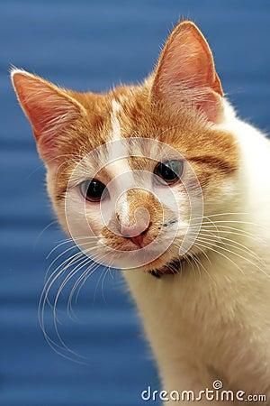 Shorthair red-white cat