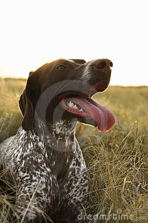 Free Shorthaired Pointer Panting. Royalty Free Stock Image - 2044576