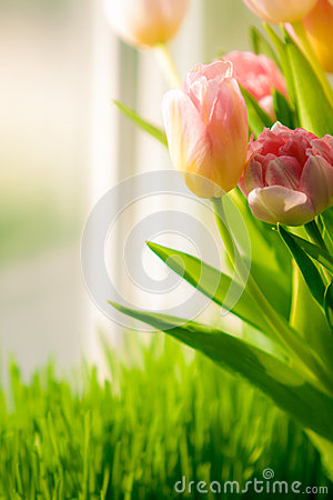 Shot of bunch of tulips standing on windowsill