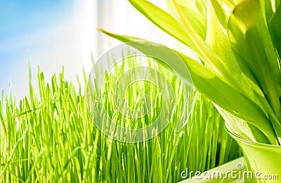 Shot of green grass growing on windowsill