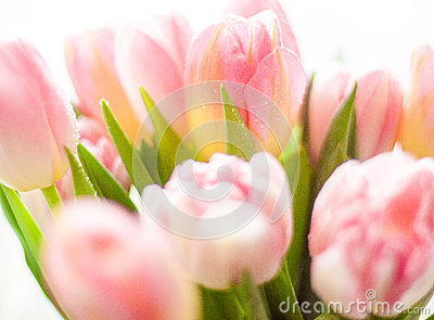 Shot of growing pink tulips