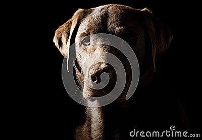 Shot of a Proud Labrador