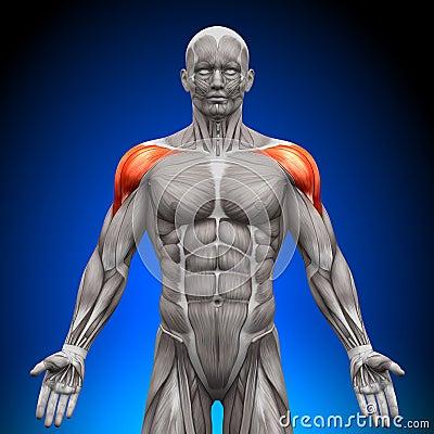 Shoulders / Deltoid - Anatomy Muscles