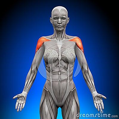 Shoulders / Deltoid - Female Anatomy