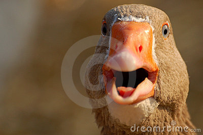 A shouting duck
