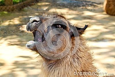 Shouting llama
