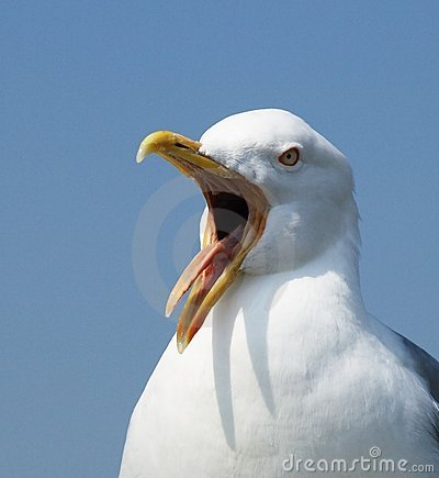 Free Shouting Seagull Close-up Stock Photos - 5313093