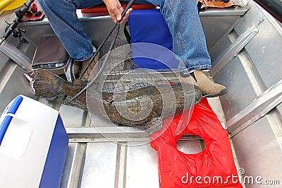 Shovelhead catfish