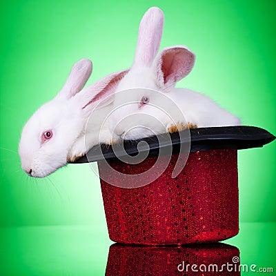 Show rabbits