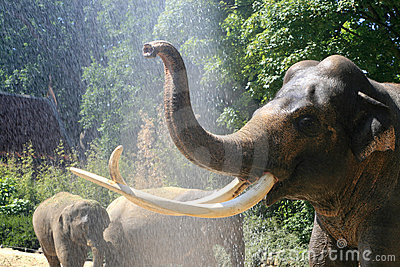 Showering elephants in summer