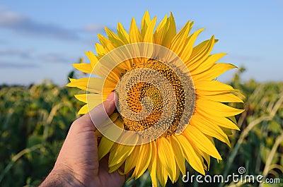 Showing sunflower