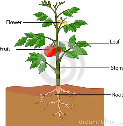 Free Showing The Parts Of A Tomato Plant Stock Photos - 45854183
