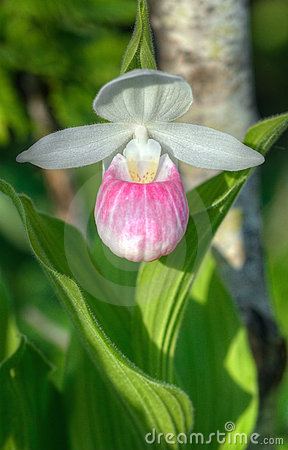 Showy Lady s Slipper (Cypripedium reginae)