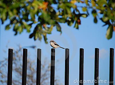 Shrike bird on fence post