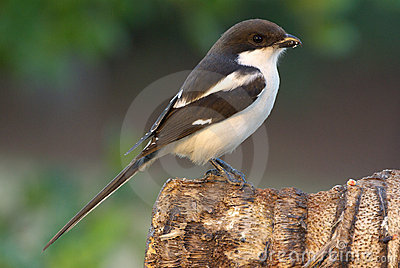 Shrike Common Fiscal lanius collaris