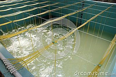 Shrimp aquaculture bath