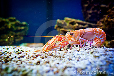 Shrimp in aquarium