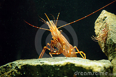 shrimp on a rock