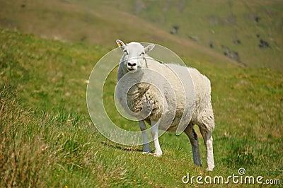 Shropshire ewe
