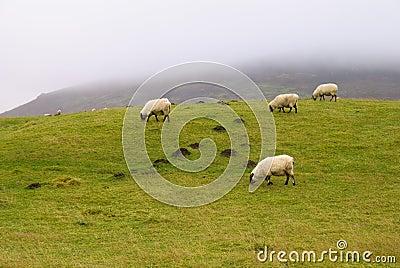 Shropshire Hills Sheep